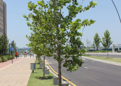 Mall of Africa - Large Trees